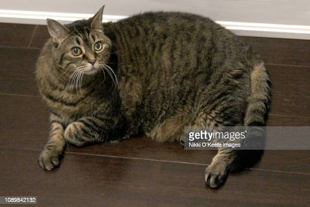 chubby tabby - fat cat stock photos and pictures