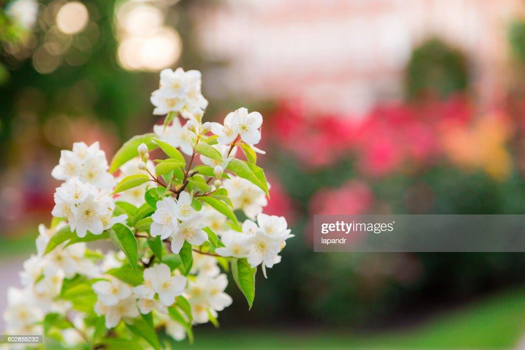 Chubushnik Oder Jasmin Garten Blühen Im Park Blühender Strauch Weiße