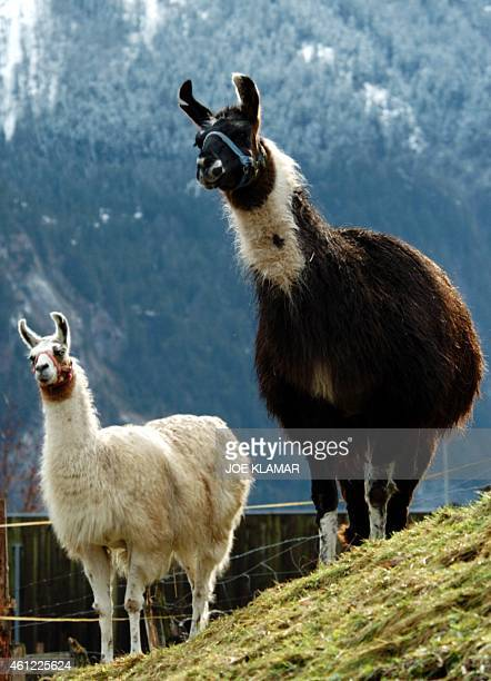 Chuglio and Mario eight years old Lamas pose for pictures at the pastures near Swiss town of Lauterbrunnen 14 January 2004 At this time of a year it...