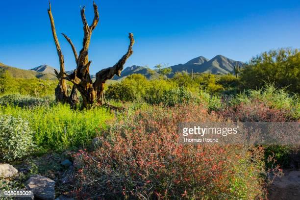 chuparosa bush in the desert - scottsdale arizona stock pictures, royalty-free photos & images