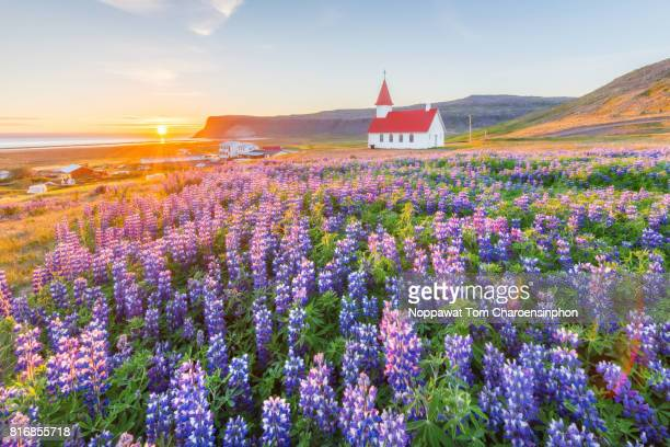 church and lupine field in summer, iceland - northern europe stock pictures, royalty-free photos & images