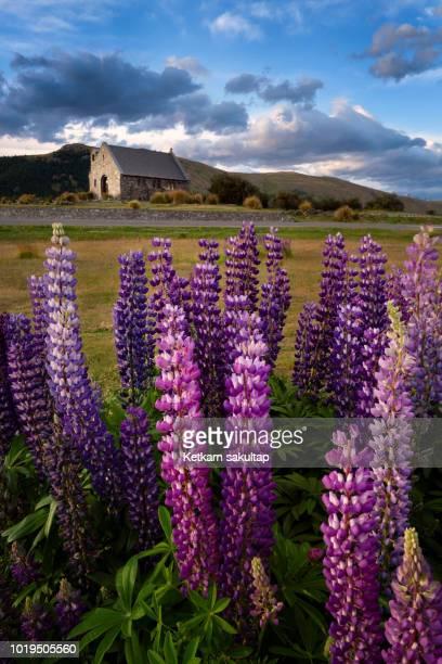 Church Of The Good Shepherd and lupine blooming flowers,Tekapo lake, New Zealand