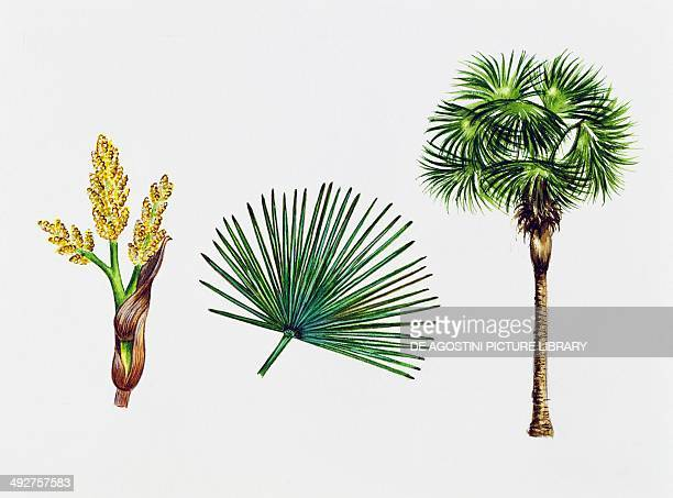 Chusan palm Windmill palm or Chinese windmill palm Arecaceae tree leaves and flowers illustration