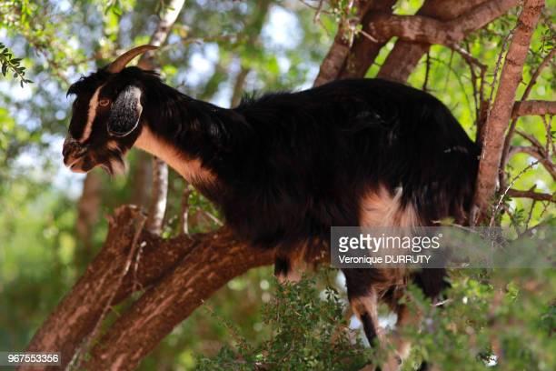 Chèvre sur un arganier 28 janvier 2016 région d'Agadir Sud Maroc