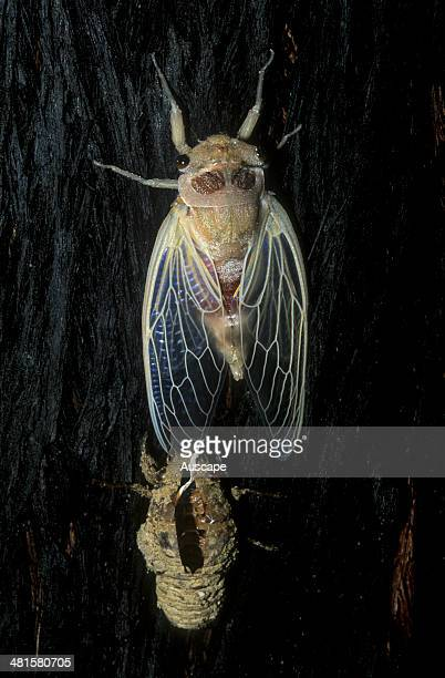 Cicada adult emerging from larval casing on tree trunk at night Tomerong Shoalhaven New South Wales Australia