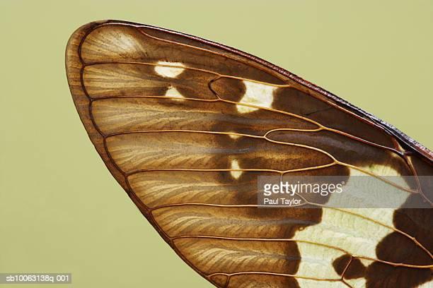 cicada (gaeana laosensis), close-up of wing - cicala foto e immagini stock