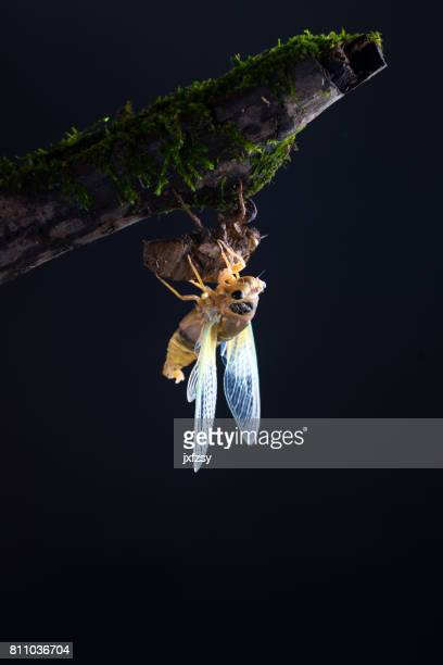 cicada eclosion with golden body and green wings