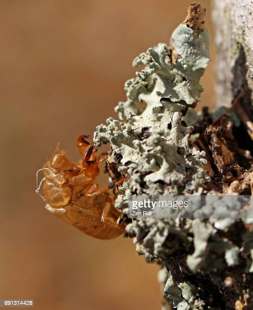 Cicada Exoskeleton left attached to lichen on a tree trunk