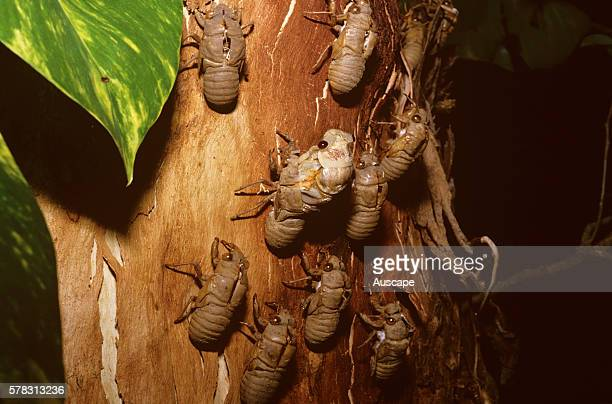 Cicada fam Cicadidae nymphal shells on tree at night with single emerging Cicada Northern Territory Australia