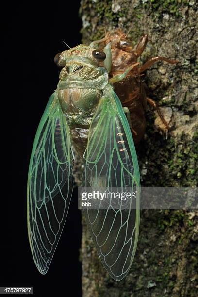 cicada finished molting - cigale photos et images de collection