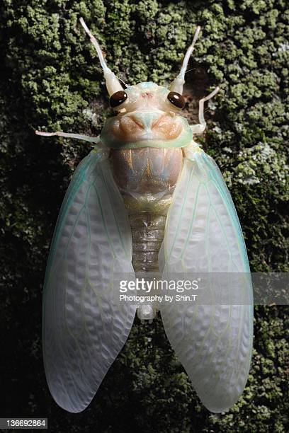 Cicada just after eclosion