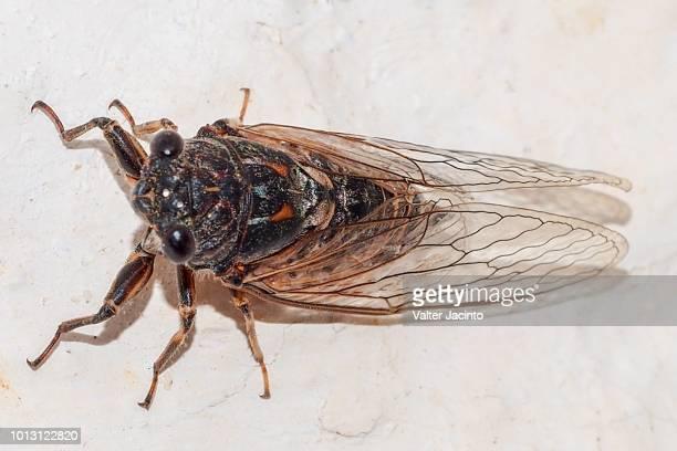cicada (tettigettalna argentata), male - cicala foto e immagini stock