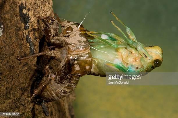 cicada metamorphosis - cicala foto e immagini stock