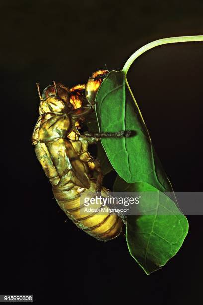 cicada molt on green leaf (black background) - cicala foto e immagini stock