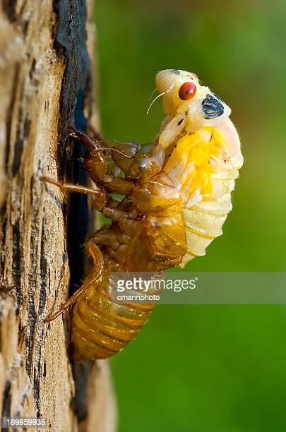 Cicada - Nymph