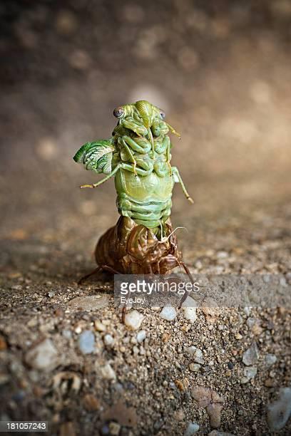 Cicada Nymph Shedding its Shell