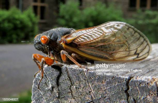 Cicada on a picnic table in front of the Nolde Mansion. In front of the Nolde Mansion at the Nolde Forest Environmental Education Center in Cumru...