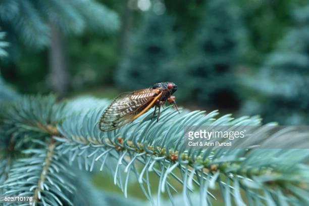 cicada on a pine branch - cicala foto e immagini stock