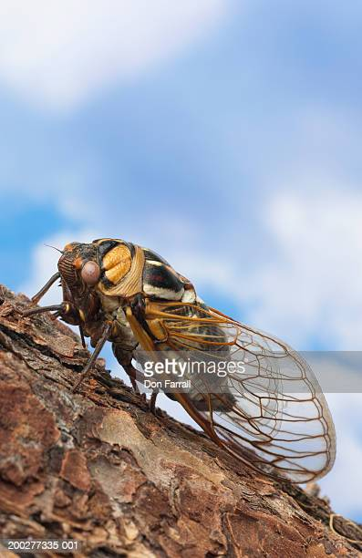 Cicada on branch, side view, close-up