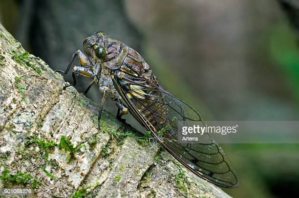 Cicada on fig tree in rain forest Carara National Park Costa Rica
