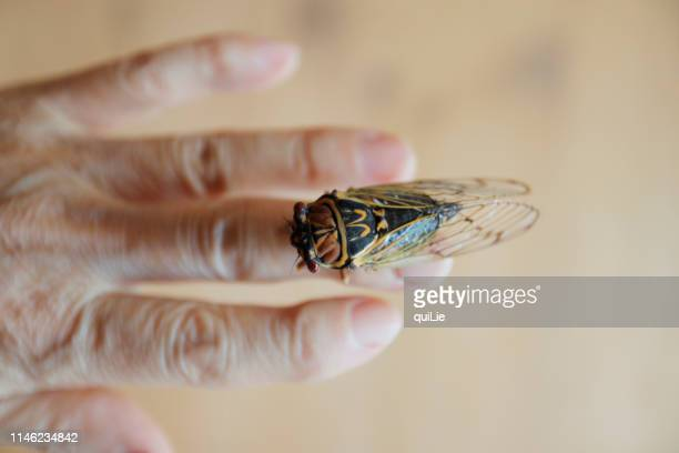 cicada on old women hand - cicada stock pictures, royalty-free photos & images