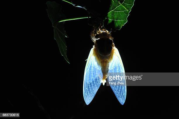 A cicada on tree branch emerging from its nymph exoskeleton, night time