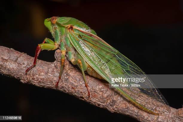 cicada - オーストラレーシア ストックフォトと画像