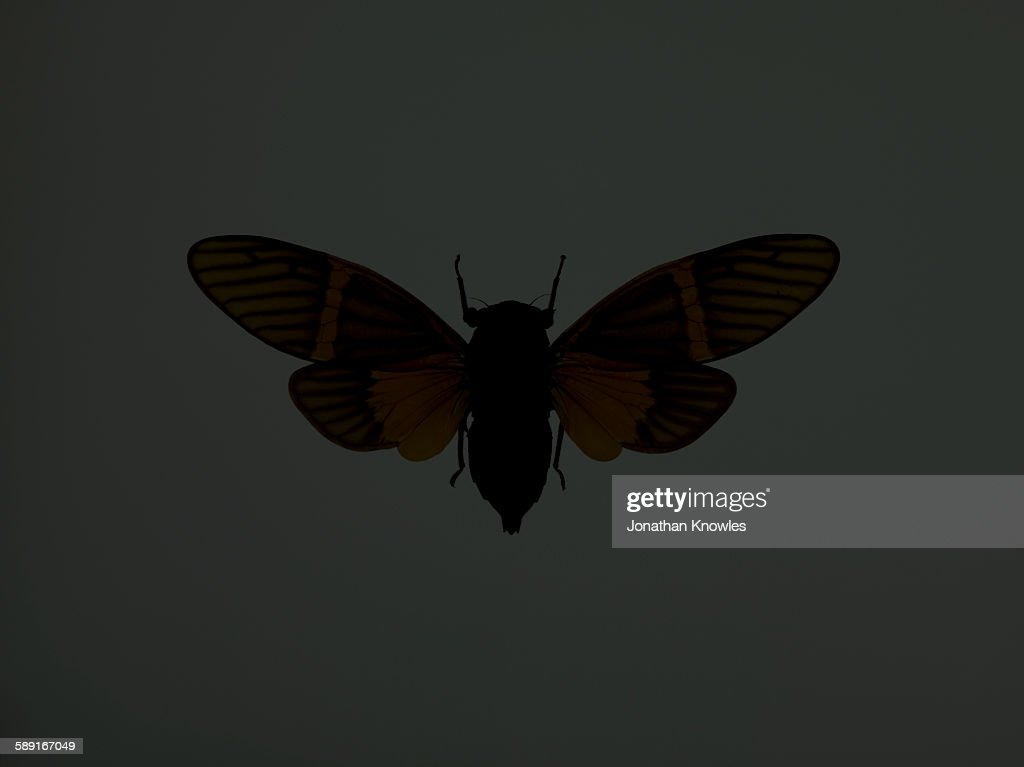 Cicada : Stock Photo
