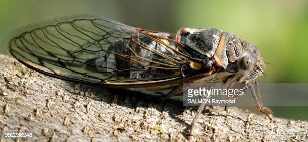 cicada - cicala foto e immagini stock