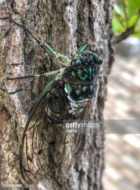 cicada singing on tree trunk. yokohama august 23, 2019 - 12 23 months stock pictures, royalty-free photos & images