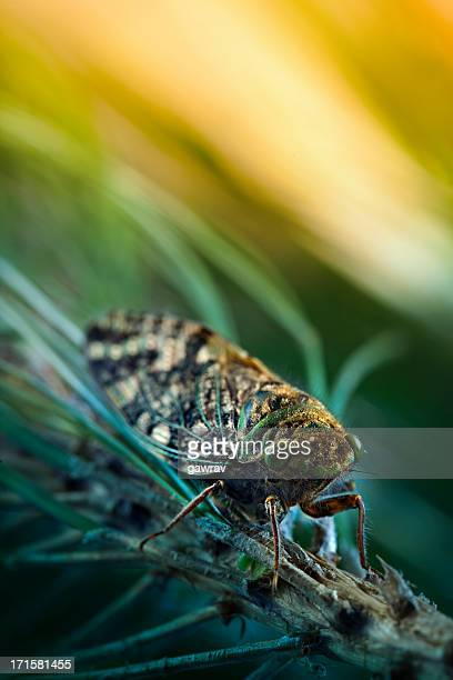 cicada sitting on pine tree branch - cicada stock pictures, royalty-free photos & images