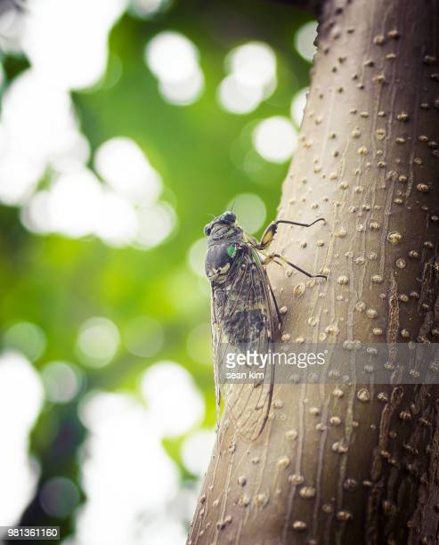 cicada standing on tree trunk in summer - cicala foto e immagini stock