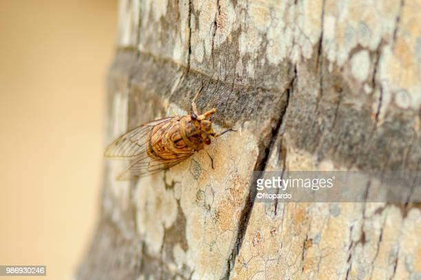 cicadidae or chicharo insect - picadura de mosquito fotografías e imágenes de stock