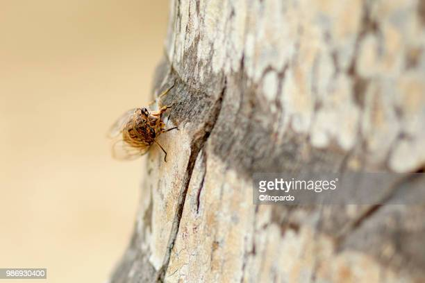 cicadidae or chicharo insect - insektsbett bildbanksfoton och bilder