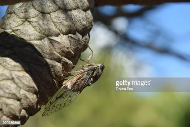 cicala - cicala foto e immagini stock