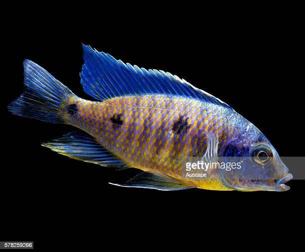 A cichlid Copadichromis verduyni freshwater aquarium fish that is endemic to Lake Malawi Africa Grows to 11 cm Aquarium