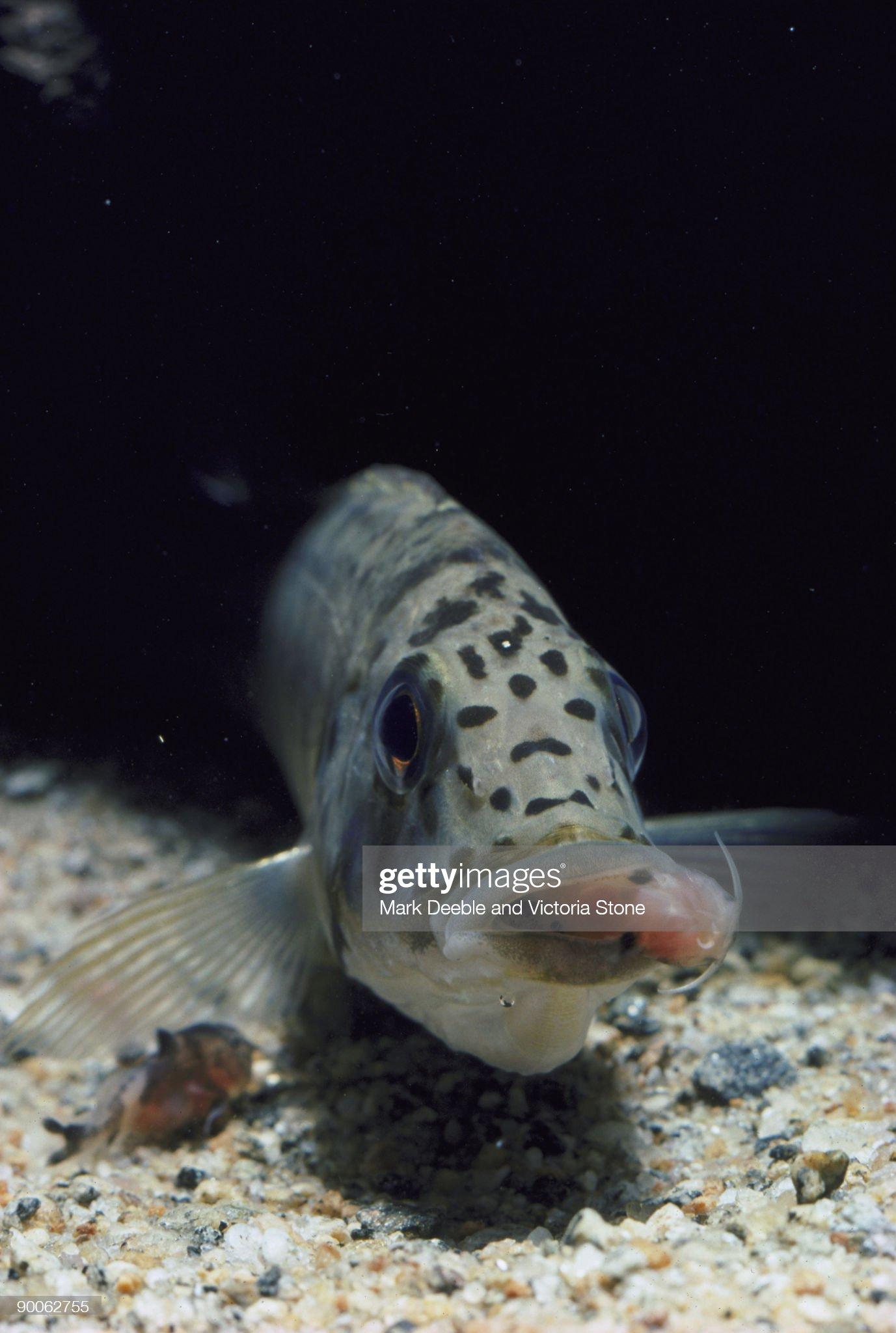 cichlid ctenochromis horei host mother to cuckoo catfish babies. tanzania : Foto de stock