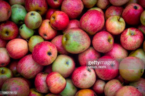Cider apples are piled during harvest close to the JR's llagar in Cabuenes Asturias region on October 18 2018