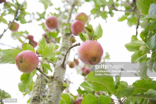 Cider Apples growing on the tree
