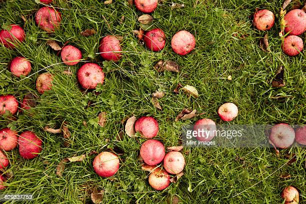 Cider apples on the grass in an orchard.