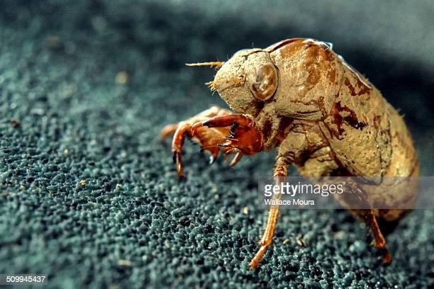 Cigarra - Cicada (Tibicen linnei)