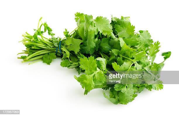 Cilantro Herb Bouquet Bunch Isolated Cut Out on White Background