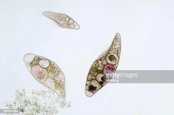 ciliate, Blepharisma americanum, micrograph