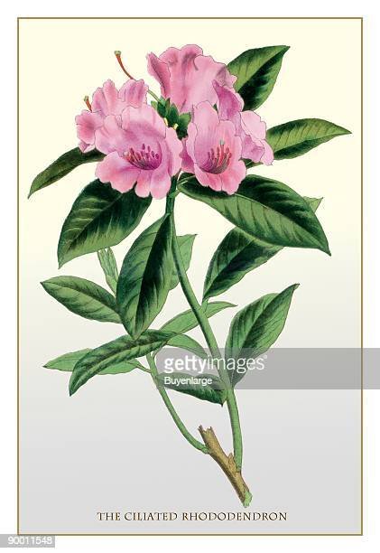 Ciliated Rhododendron