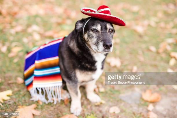 cinco de mayo dog - cinco de mayo funny stock pictures, royalty-free photos & images