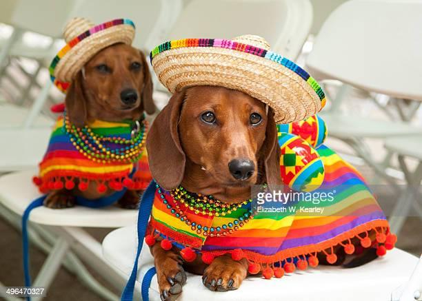 Cinco de mayo dogs