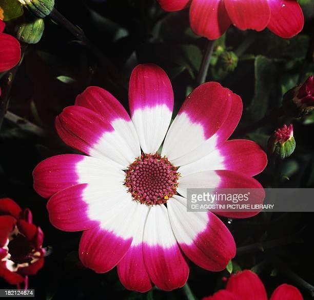 Cineraria Asteraceae