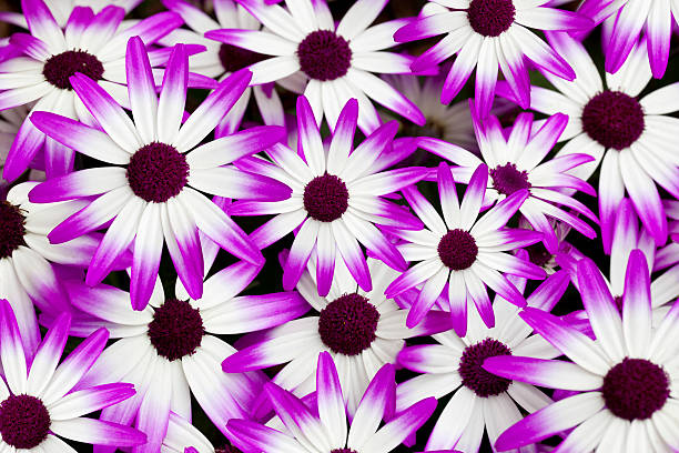 Cineraria Senetti Wall Art