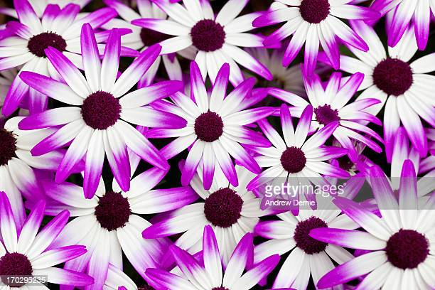 cineraria senetti - andrew dernie stock pictures, royalty-free photos & images