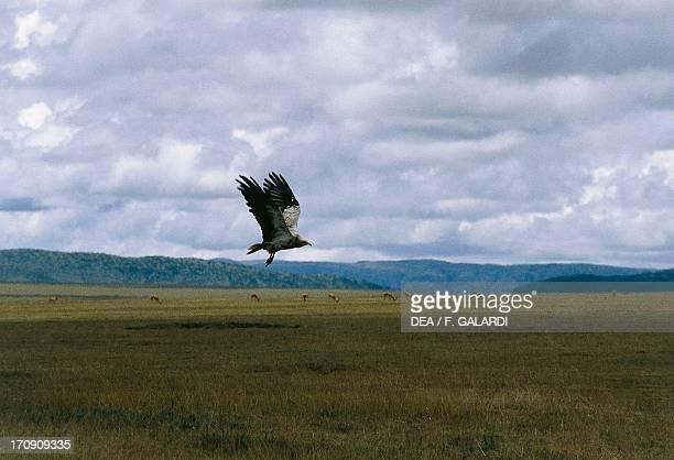 Cinereous Vulture in flight Serengeti National Park Tanzania